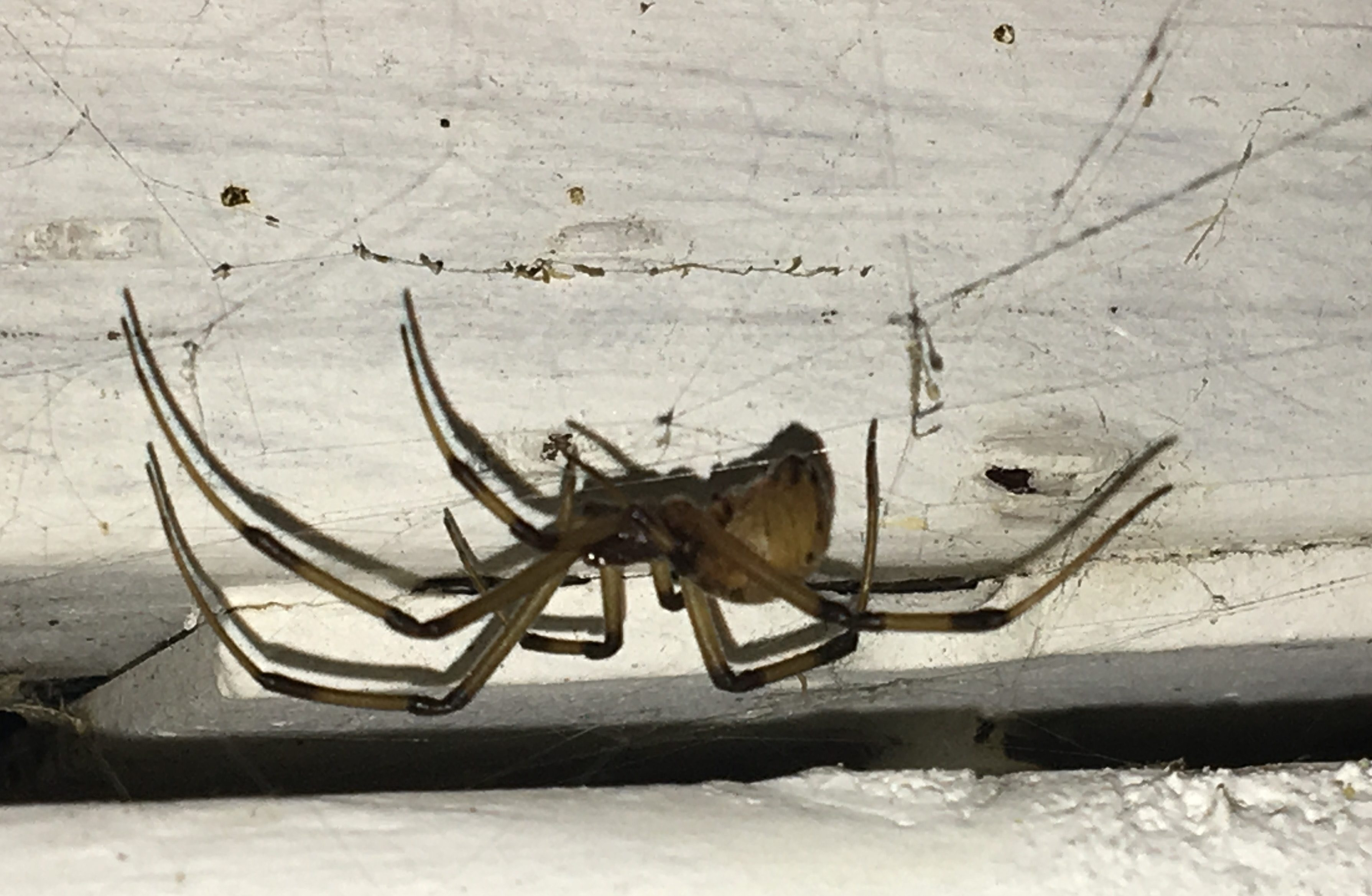 Picture of Latrodectus geometricus (Brown Widow Spider) - Lateral,Webs