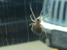 Picture of Cheiracanthiidae (Prowling Spiders) - Female - Ventral