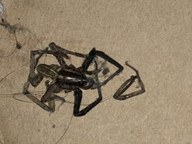 Picture of Rabidosa rabida (Rabid Wolf Spider) - Dorsal