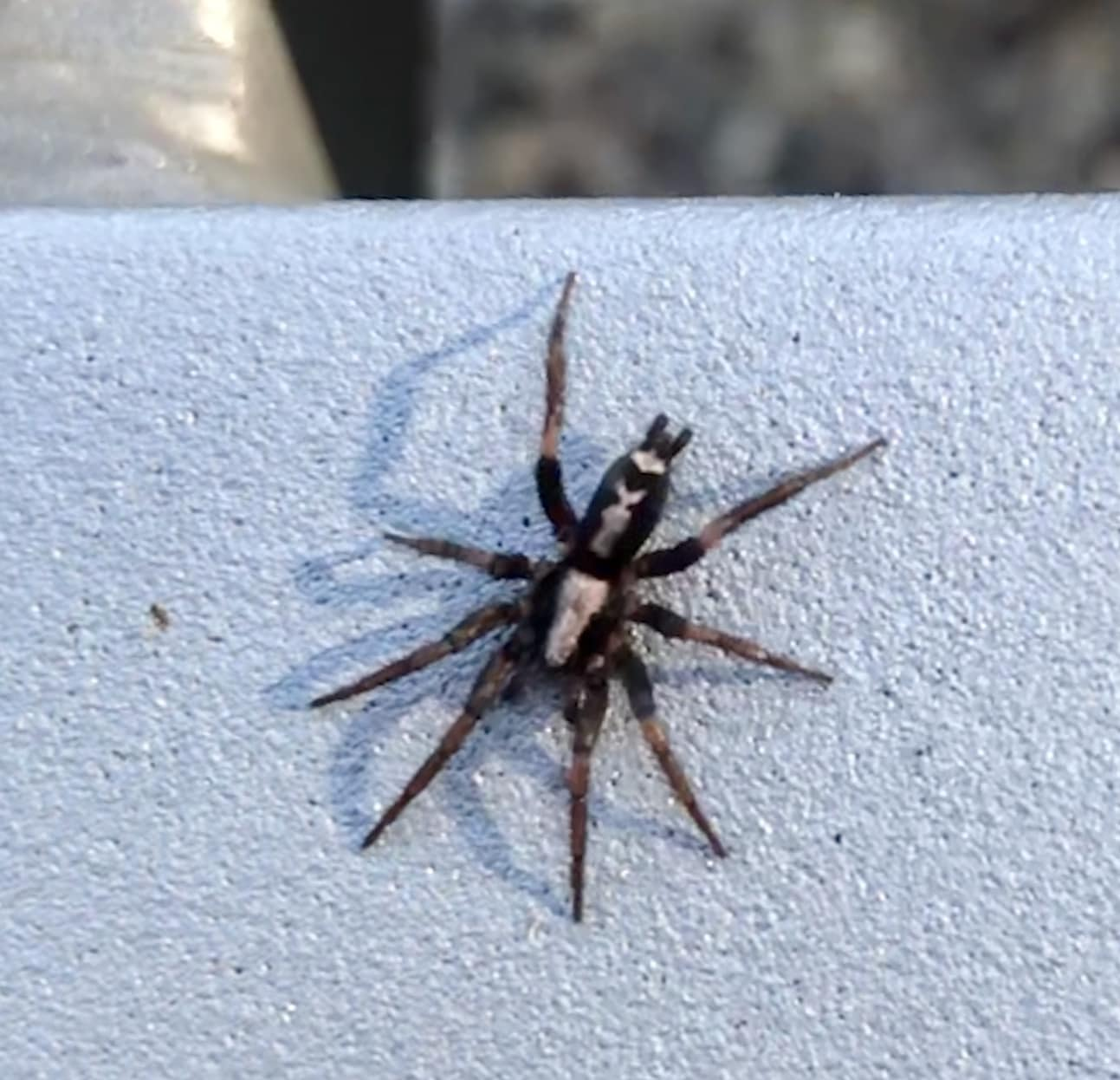 Herpyllus Ecclesiasticus Eastern Parson Spider In Austin Texas