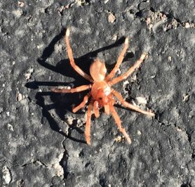Picture of Ctenizidae (Cork-lid Trapdoor Spiders)