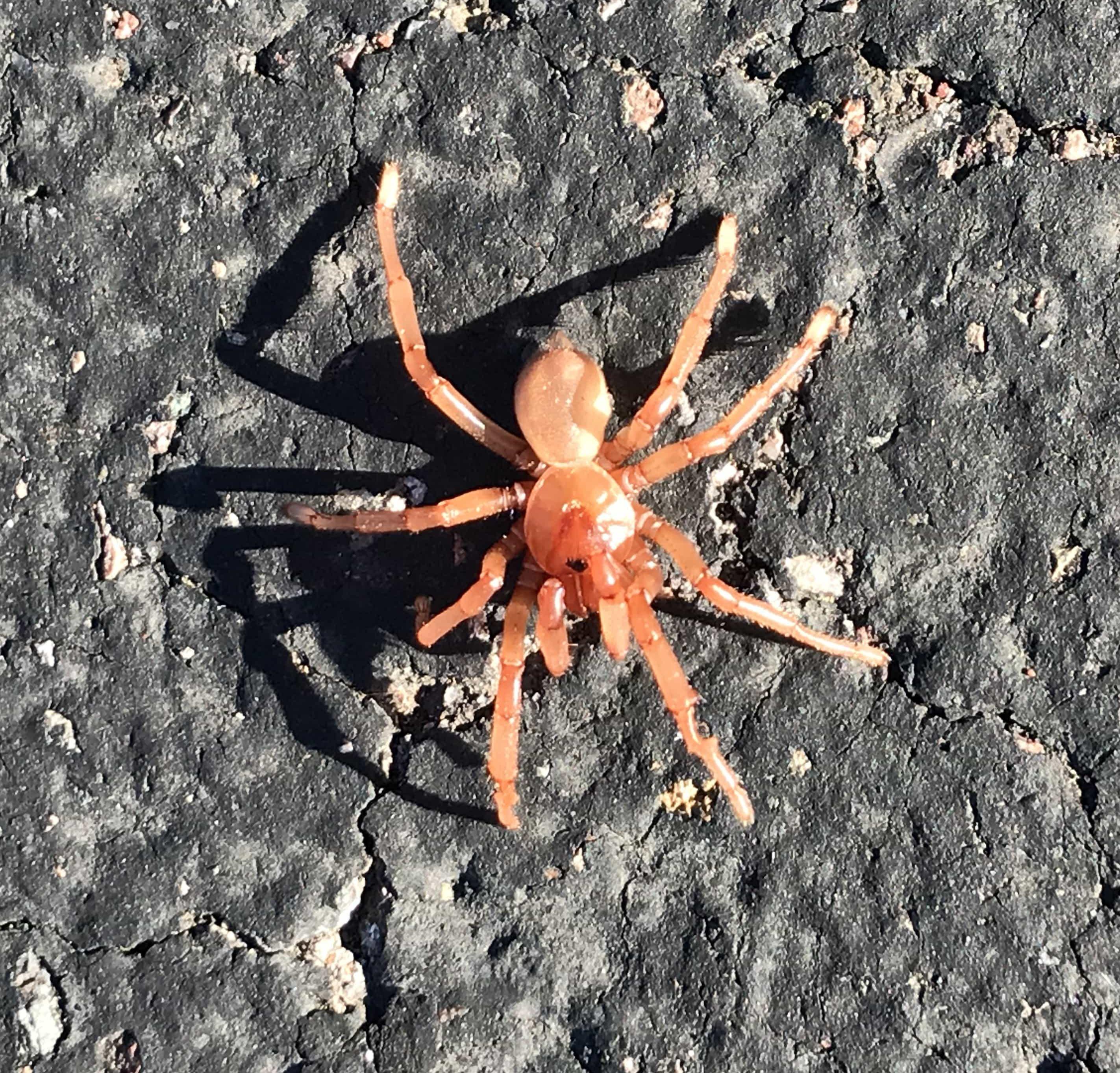 Picture of Ctenizidae (Cork-lid Trapdoor Spiders)