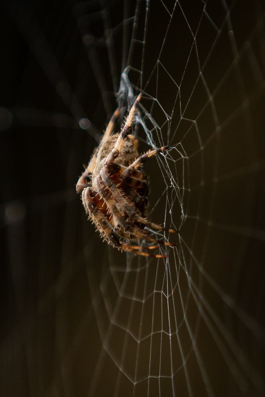 Picture of Neoscona crucifera (Hentz Orb-weaver) - Lateral,Webs