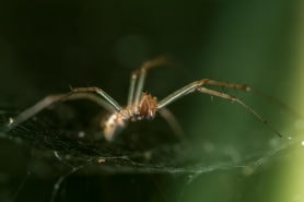 Picture of Linyphiidae (Money Spiders) - Webs