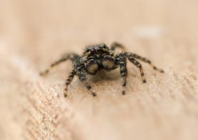 Picture of Marpissa muscosa (Fence-post Jumper) - Male - Eyes