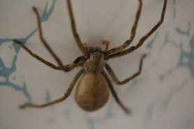Picture of Palystes spp. (Rain Spiders) - Dorsal