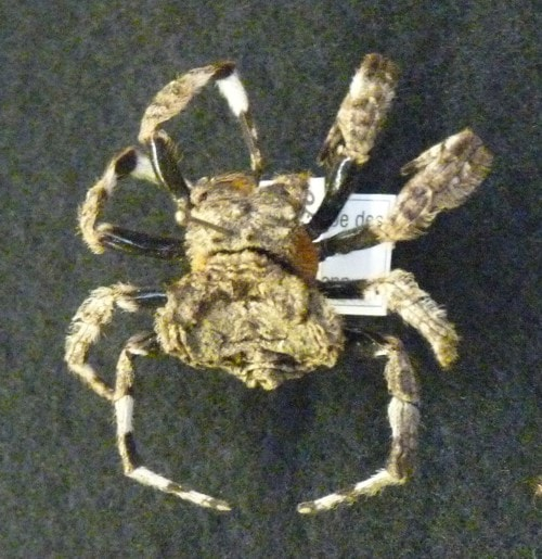 Picture of Caerostris (Bark Spiders) - Dorsal