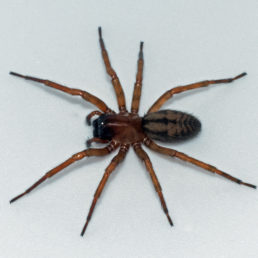 Featured spider picture of Callobius pictus