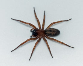 Picture of Callobius pictus - Female - Dorsal
