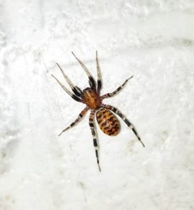 Picture of Castianeira amoena - Dorsal