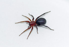 Picture of Castianeira longipalpa - Female - Dorsal