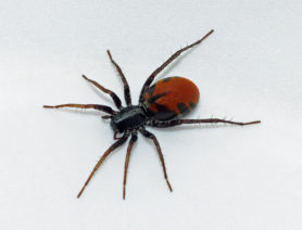 Picture of Castianeira walsinghami - Female - Dorsal