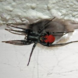 Featured spider picture of Castianeira walsinghami