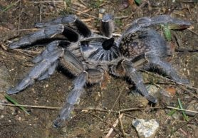Picture of Ceratogyrus marshalli (Great Horned Baboon Spider) - Female - Dorsal