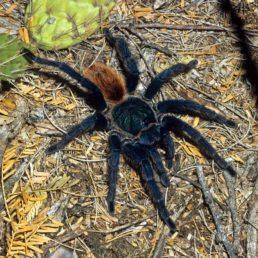 Featured spider picture of Chromatopelma cyaneopubescens (Green-bottle Blue Tarantula)