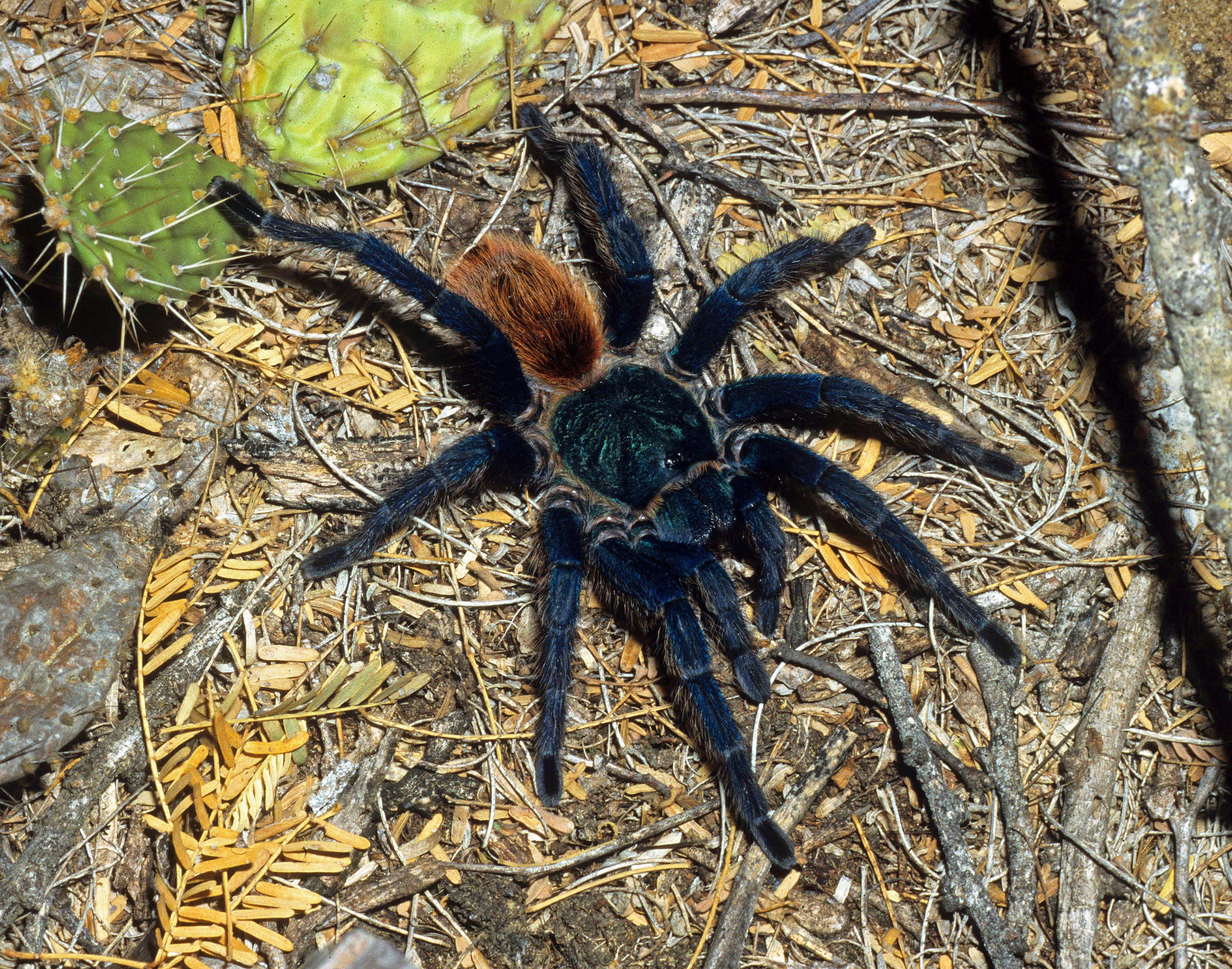 Picture of Chromatopelma cyaneopubescens (Green-bottle Blue Tarantula) - Female - Dorsal