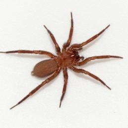 Featured spider picture of Cicurina simplex