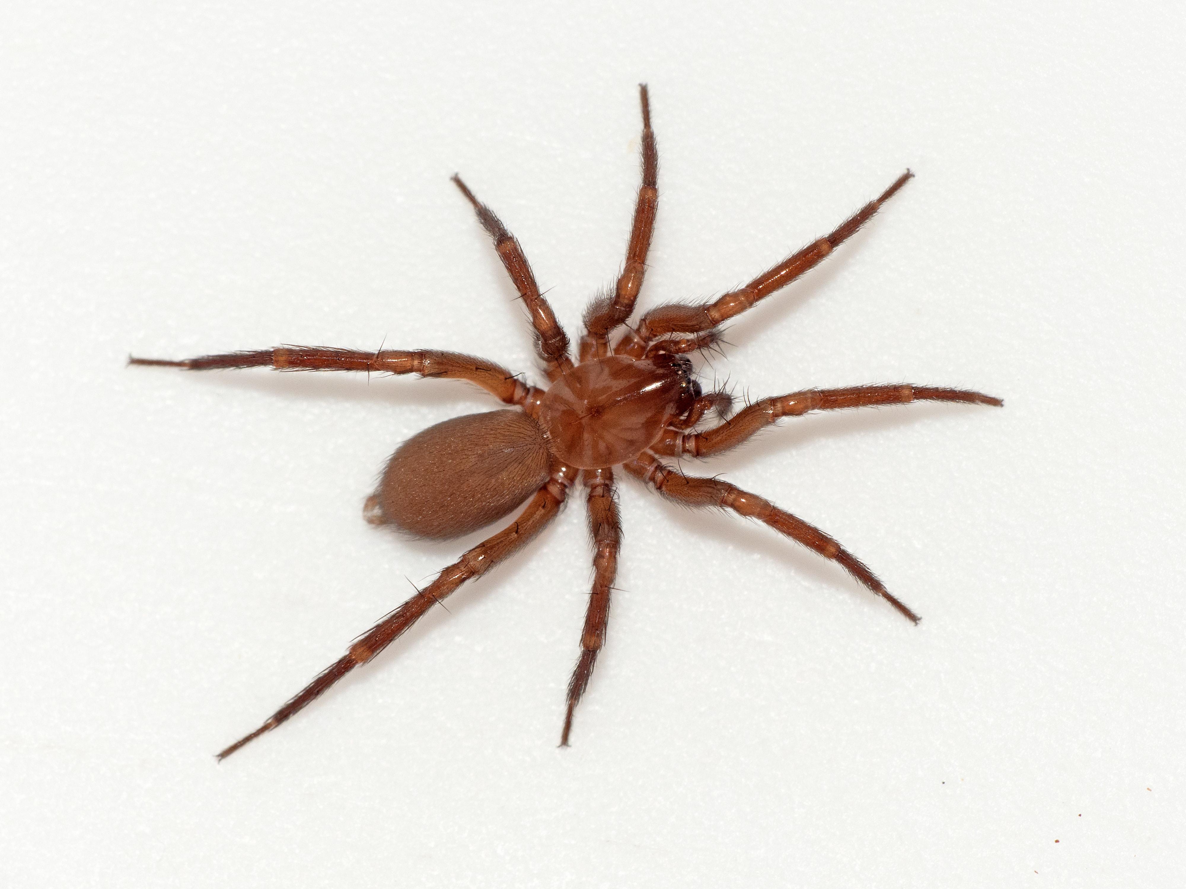 Picture of Cicurina simplex - Female - Dorsal