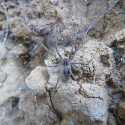 Featured spider picture of Cladycnis insignis