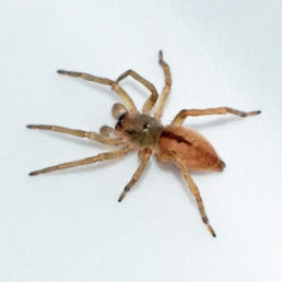 Featured spider picture of Clubiona canadensis