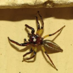 Featured spider picture of Colonus sylvanus (Sylvana Jumping Spider)