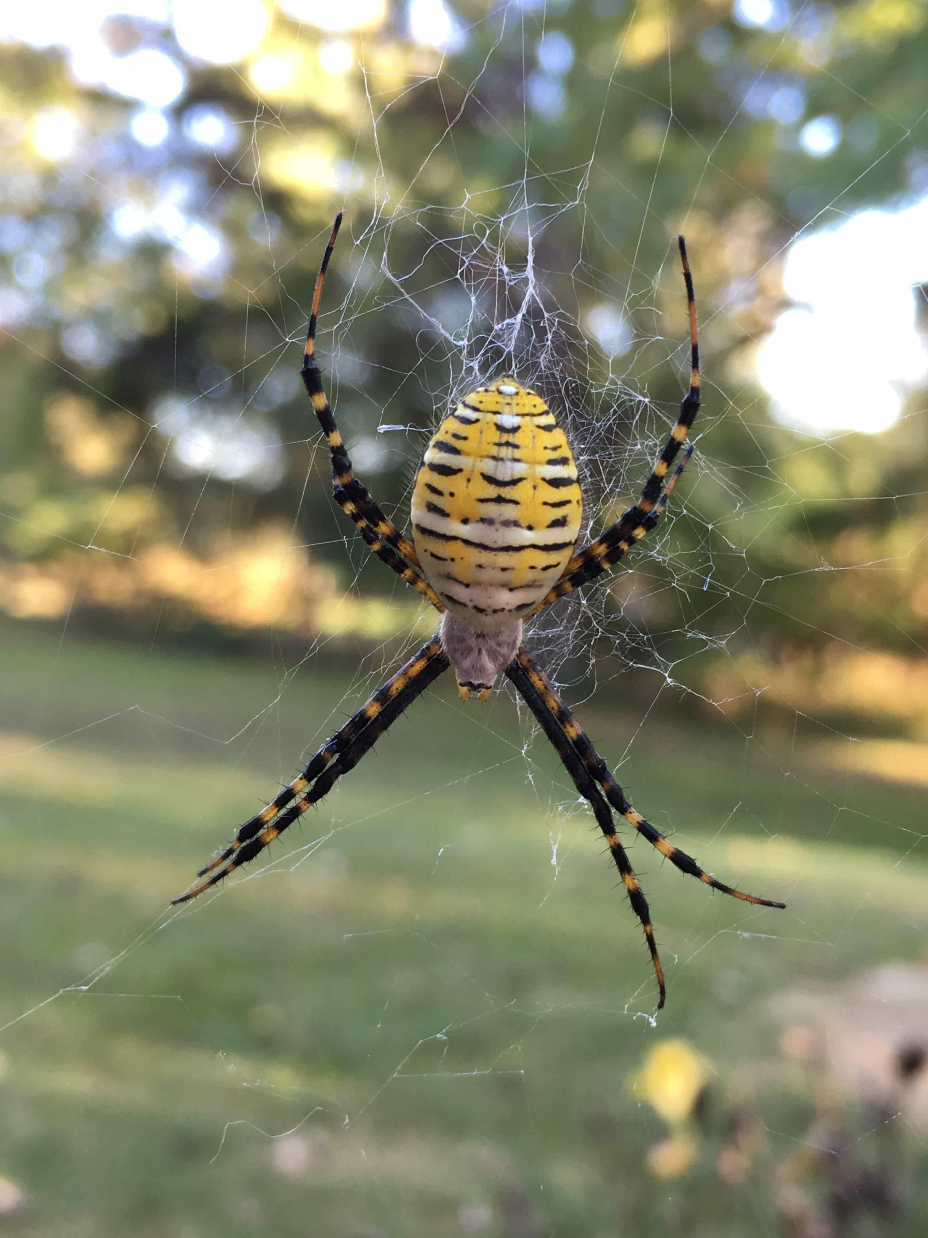 Picture of Argiope trifasciata (Banded Garden Spider) - Female - Dorsal