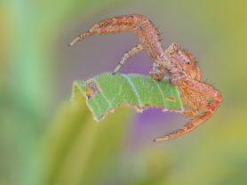 Picture of Xysticus spp. (Ground Crab Spiders) - Male - Eyes
