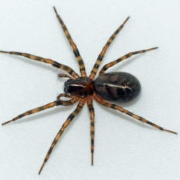 Featured spider picture of Cybaeus signifer