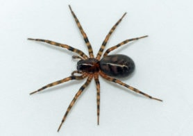Picture of Cybaeus signifer - Female - Dorsal