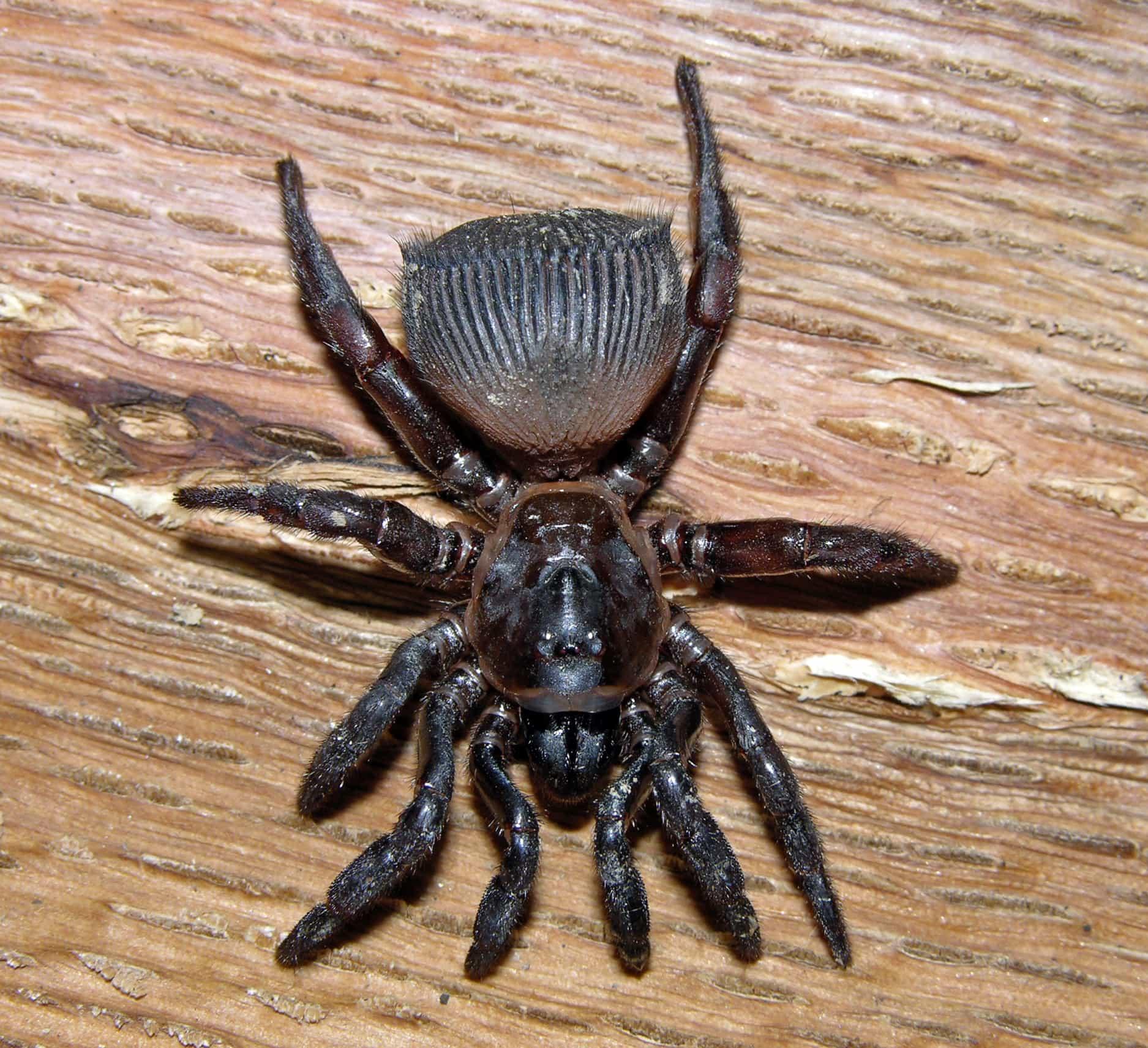 Picture of Cyclocosmia truncata (Ravine Trapdoor Spider) - Female - Dorsal