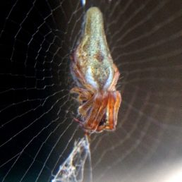 Featured spider picture of Cyclosa conica