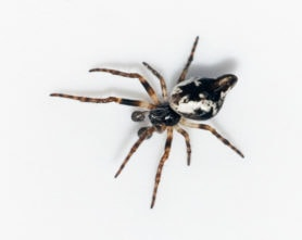 Picture of Cyclosa conica - Male - Dorsal,Penultimate
