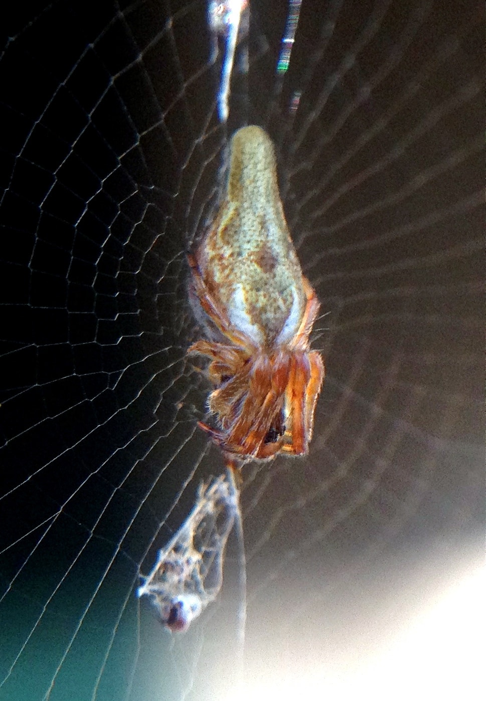 Picture of Cyclosa conica - Female - Dorsal,Webs