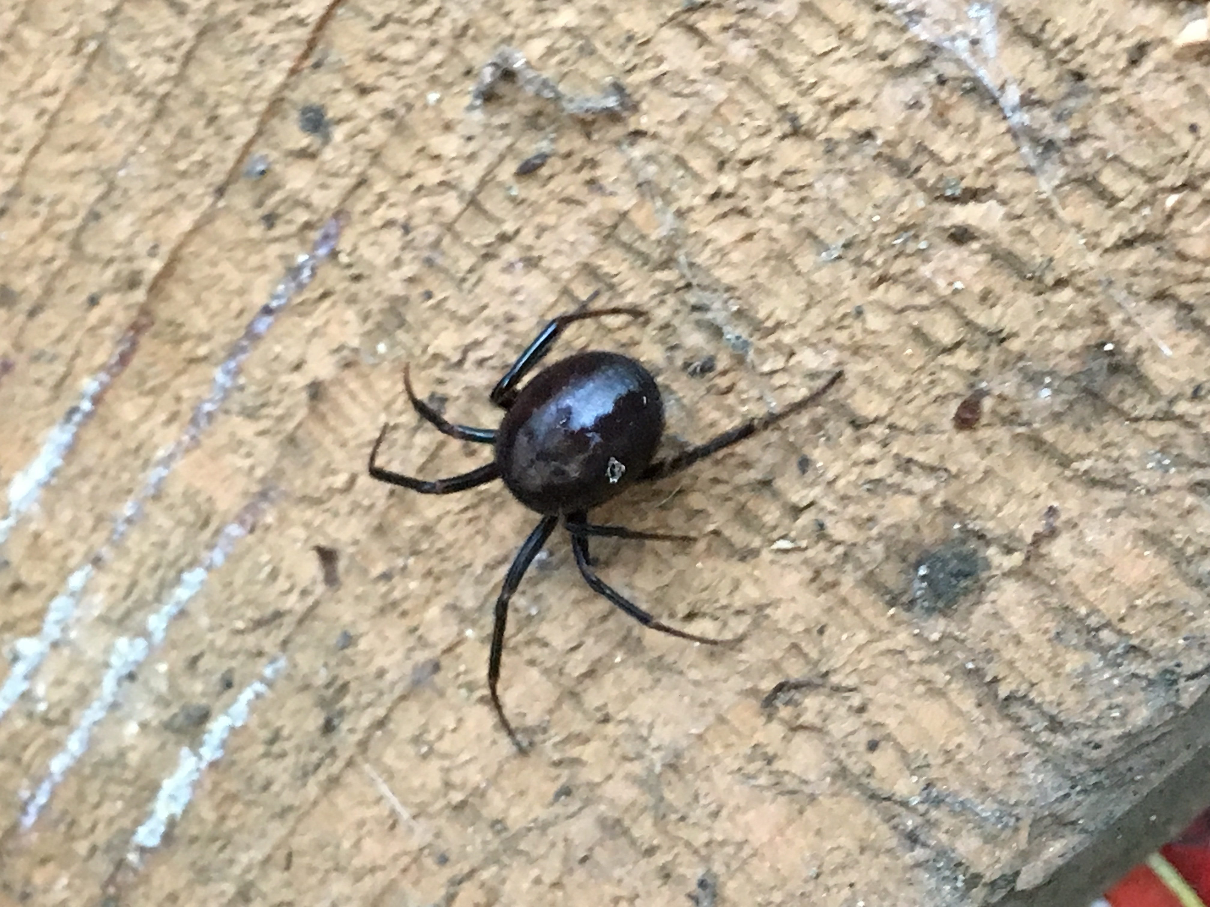 Picture of Steatoda (False Widows) - Dorsal