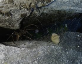 Picture of Dolomedes spp. (Fishing Spiders) - Female - Lateral,Spiderlings,Webs