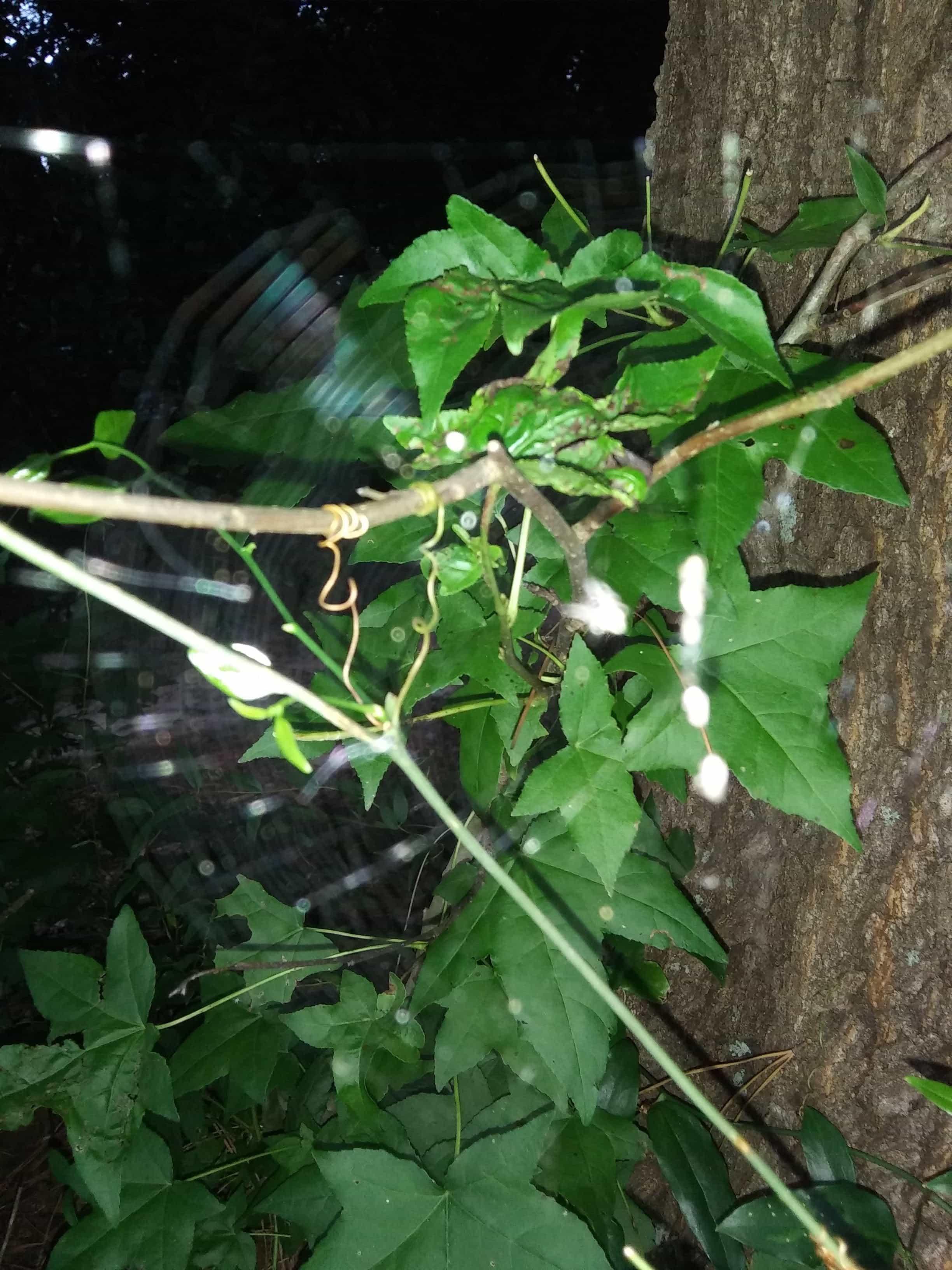 Picture of Mecynogea lemniscata (Basilica Orb-weaver) - Egg sacs,Webs