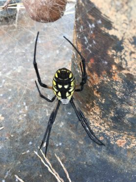 Picture of Argiope aurantia (Black and Yellow Garden Spider) - Female - Dorsal,Egg sacs,Webs