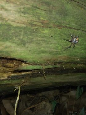 Picture of Metepeira labyrinthea (Labyrinth Orb-weaver)
