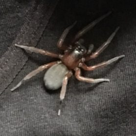 Picture of Callobius spp. - Dorsal
