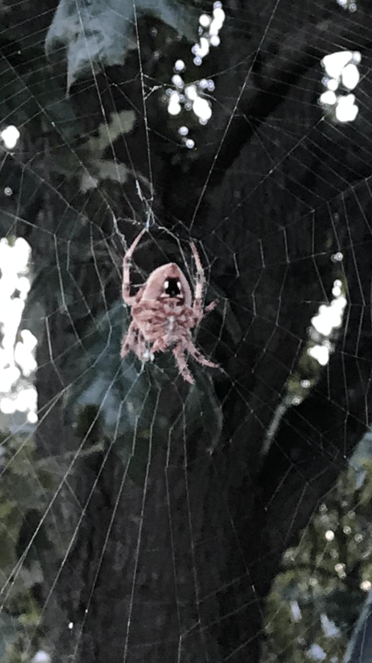 Picture of Neoscona crucifera (Hentz Orb-weaver) - Ventral,Webs