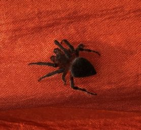 Picture of Araneidae (Orb-weavers) - Male - Dorsal,Penultimate