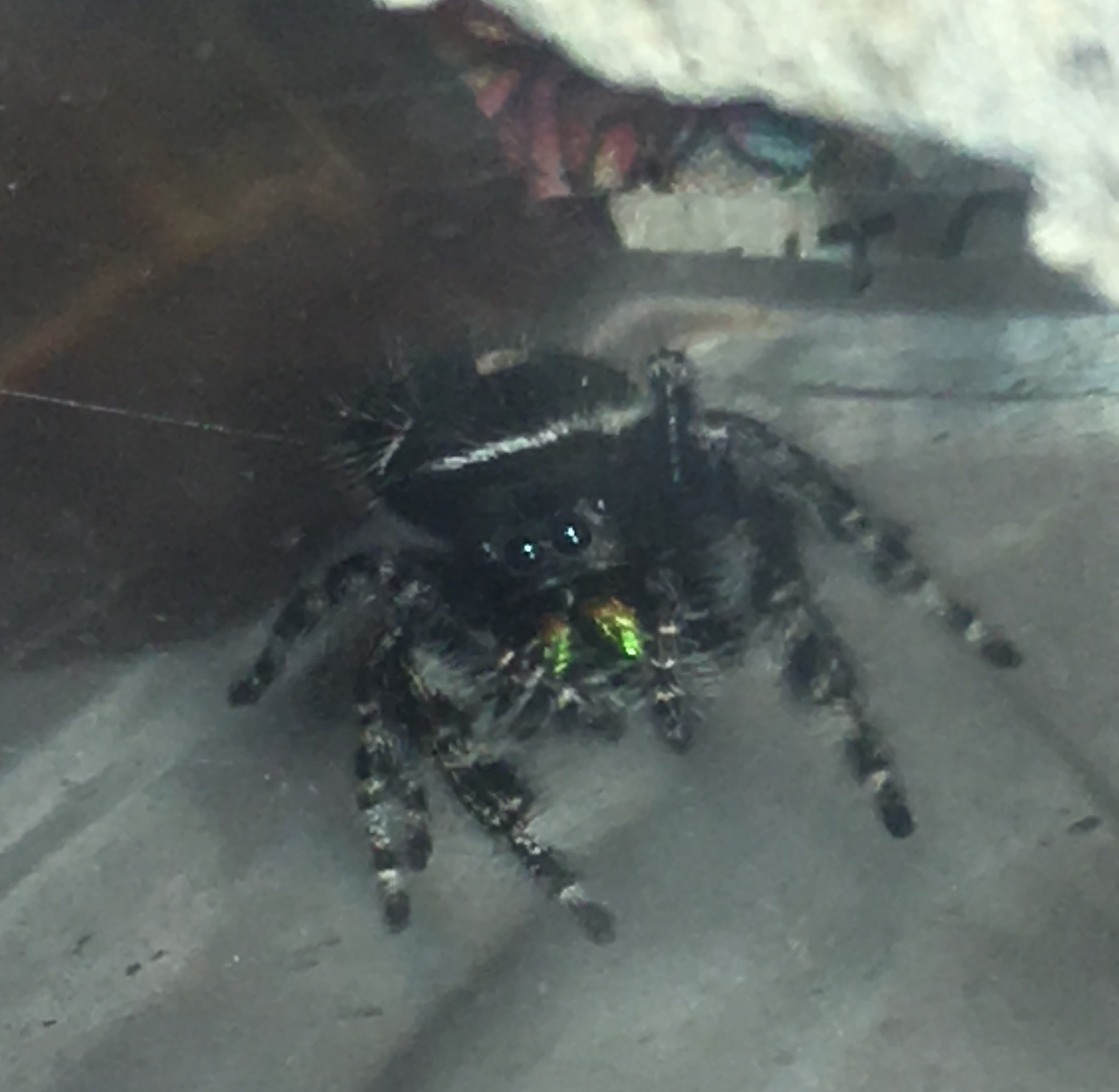 Picture of Phidippus audax (Bold Jumper) - Eyes