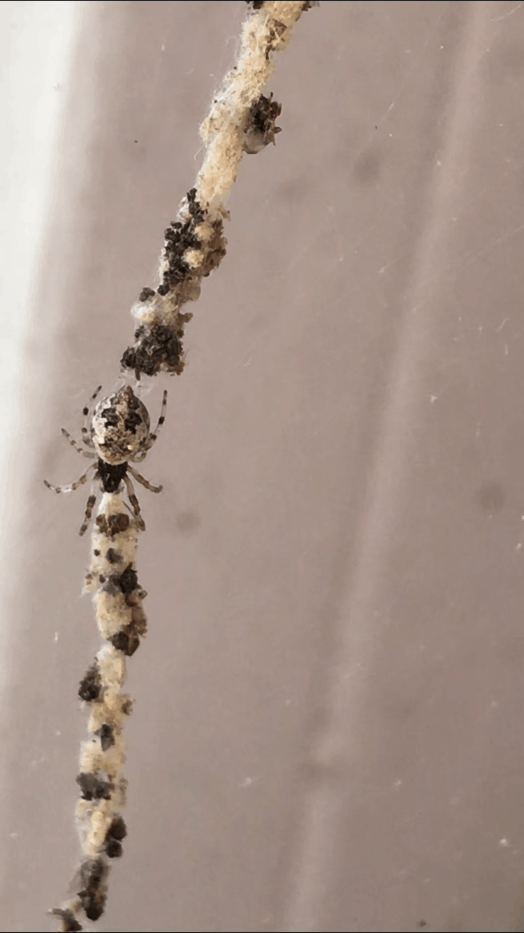 Picture of Cyclosa turbinata - Dorsal,Webs