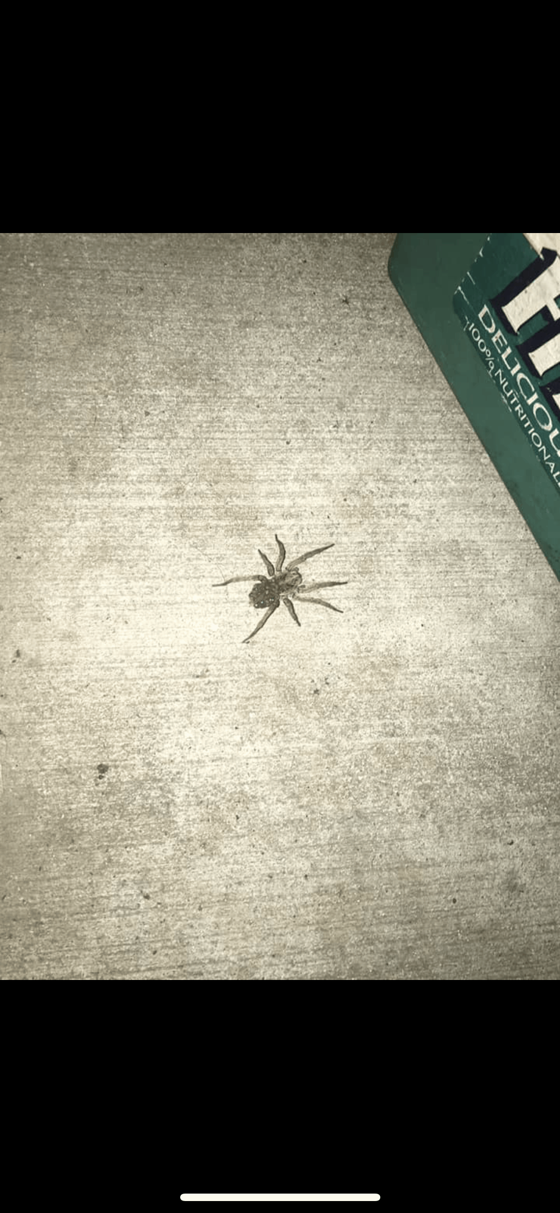 Picture of Hogna - Female - Dorsal,Spiderlings