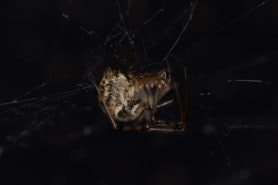 Picture of Parasteatoda tepidariorum (Common House Spider) - Lateral,Webs