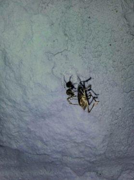 Picture of Parasteatoda tepidariorum (Common House Spider) - Male - Lateral