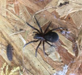 Picture of Amaurobiidae (Hacklemesh Weavers) - Dorsal