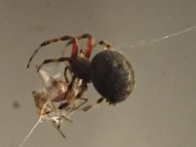 Picture of Neoscona spp. (Spotted Orb-weavers) - Lateral,Prey