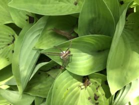 Picture of Pisaurina mira (Nursery Web Spider) - Dorsal,Egg sacs