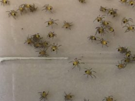 Picture of Araneus spp. (Angulate & Round-shouldered Orb-weavers) - Male,Female - Spiderlings